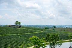 Piantagioni di tè verde, campo del tè verde con il cielo e stagno Fotografie Stock Libere da Diritti