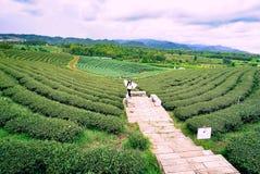 Piantagioni di tè verde Chiang Rai Fotografie Stock Libere da Diritti