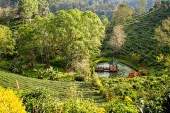 Piantagioni di tè verde nella valle della Tailandia del Nord Fotografia Stock