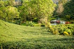 Piantagioni di tè verde nella valle della Tailandia del Nord Fotografia Stock Libera da Diritti
