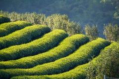 Piantagioni di tè verde nella valle della Tailandia del Nord Immagine Stock
