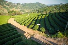 Piantagioni di tè verde nella valle della Tailandia del Nord Fotografie Stock Libere da Diritti