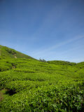 Piantagioni di tè vicino alla montagna Malesia di Brinchang Fotografia Stock Libera da Diritti