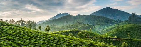 Piantagioni di tè Fotografia Stock