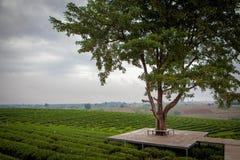 Piantagioni di t? Choui Fong in Chiang Rai fotografia stock