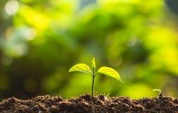 Piantando il mondo di risparmi di cura dell'albero degli alberi, le mani stanno proteggendo le piantine nella natura e nella luce immagini stock libere da diritti
