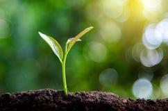 Piantando la plantula delle piantine di mattina accenda sul fondo della natura fotografie stock libere da diritti