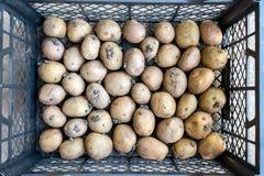 Piantando le patate varietali con i germogli pronti per la piantatura in Th fotografia stock libera da diritti