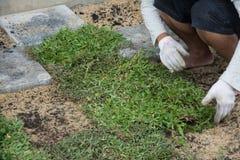 Piantando lo strato dell'erba su terra, Fotografia Stock Libera da Diritti