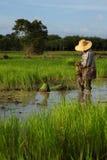 Piantando sul terreno coltivabile del risone Fotografia Stock