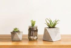 Piantatrici concrete succulenti Immagini Stock