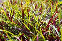 Piantatura all'aperto di Chlorophytum Pianta di ragno, variegata, strappato Fotografia Stock