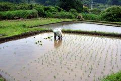 Piantatura antiquata del riso Fotografia Stock Libera da Diritti