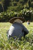 Piantatura chinata donna tailandese e selezionare su un'azienda agricola locale fotografia stock