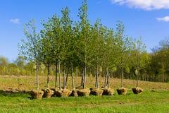 Piantatura degli alberi Fotografia Stock