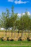 Piantatura degli alberi Fotografia Stock Libera da Diritti