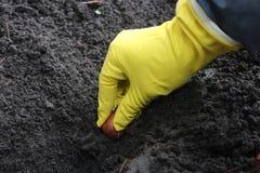 Piantatura dei bulbi Immagini Stock Libere da Diritti