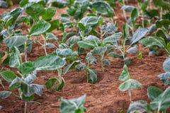 Piantatura dei cavoli, primo piano industria in Africa Immagine Stock Libera da Diritti