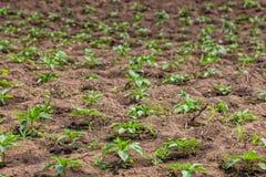 Piantatura dei cavoli, primo piano industria in Africa Immagini Stock