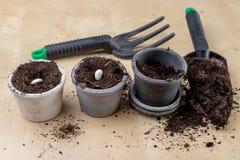 Piantatura dei fagioli in piccoli vasi Lavoro di giardinaggio nelle circostanze domestiche immagini stock libere da diritti