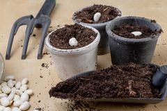Piantatura dei fagioli in piccoli vasi Lavoro di giardinaggio nelle circostanze domestiche fotografia stock