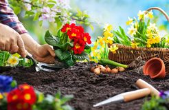 Piantatura dei fiori della molla nel giardino immagine stock libera da diritti