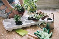Piantatura dei fiori, succulenti nella casa Lavoro a casa Piante e strumenti di giardinaggio su fondo di legno, immagine stock libera da diritti