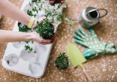 Piantatura dei fiori, succulenti nella casa Lavoro a casa Piante e strumenti di giardinaggio su fondo di legno, fotografie stock