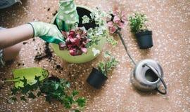 Piantatura dei fiori, succulenti nella casa Lavoro a casa Piante e strumenti di giardinaggio su fondo di legno, fotografie stock libere da diritti