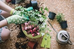 Piantatura dei fiori, succulenti nella casa Lavoro a casa Piante e strumenti di giardinaggio su fondo di legno, immagini stock libere da diritti