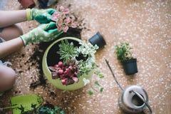 Piantatura dei fiori, succulenti nella casa Lavoro a casa Piante e strumenti di giardinaggio su fondo di legno, immagini stock