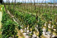 Piantatura dei pomodori Immagine Stock Libera da Diritti