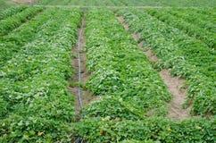 Piantatura dei pomodori Immagine Stock