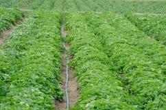 Piantatura dei pomodori Fotografie Stock
