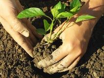 Piantatura dei semenzali del pepe Immagine Stock Libera da Diritti