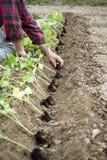 Piantatura dei semenzali del pepe Fotografie Stock Libere da Diritti