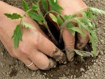 Piantatura dei semenzali del pomodoro Fotografia Stock Libera da Diritti