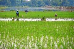 Piantatura dei semenzali del riso Immagini Stock