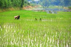 Piantatura dei semenzali del riso Immagini Stock Libere da Diritti