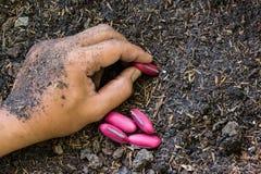 Piantatura dei semi del fagiolo in suolo immagine stock