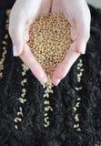 Piantatura dei semi del grano in suolo immagine stock libera da diritti