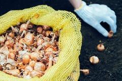 Piantatura dei semi della cipolla Fotografia Stock