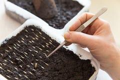 Piantatura dei semi di fiori in suolo nel primo piano di primavera immagini stock libere da diritti