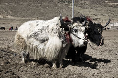 Piantatura dei yaks Fotografia Stock