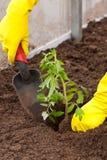 Piantatura del becco del pomodoro in terra Fotografia Stock