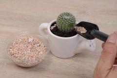 Piantatura del cactus fotografia stock libera da diritti