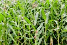 Piantatura del cereale con le alte piante Immagine Stock Libera da Diritti