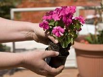 Piantatura del fiore Immagine Stock Libera da Diritti