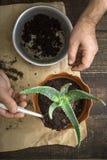 Piantatura del fiore dell'aloe nel verticale del vaso Fotografie Stock Libere da Diritti