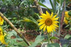 Piantatura del fiore di Sun Immagini Stock Libere da Diritti